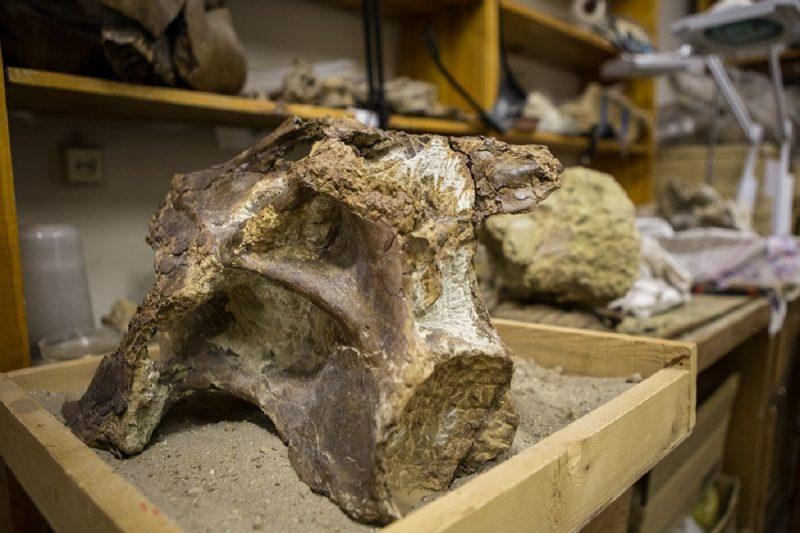 кость динозавра сибиротитан ископаемое палеонтология окаменелость
