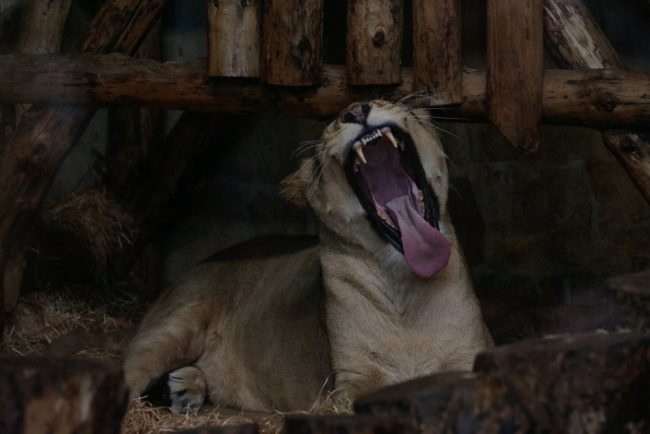 львица ленинградский зоопарк