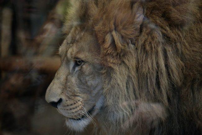 лев адам ленинградский зоопарк