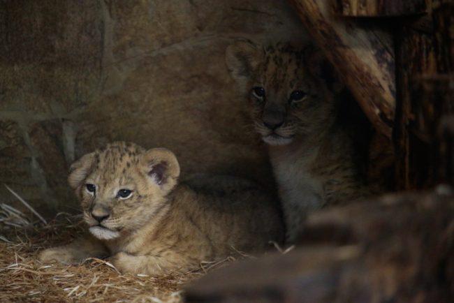 львята ленинградский зоопарк