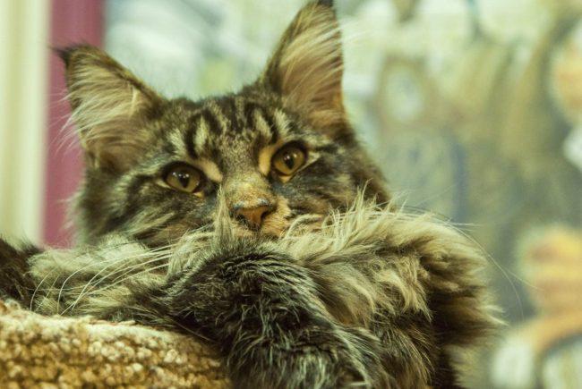 Кот Хэмингуэй кошка