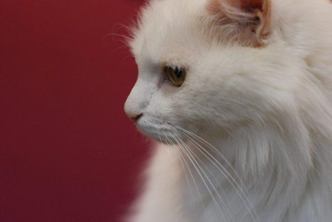 кошка кото президент Валлен Деламот