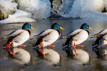утки, зима, орнитология, птицы