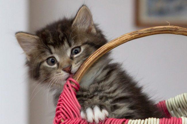 котенок котята кошка кошки коты kitten-2973032_960_720