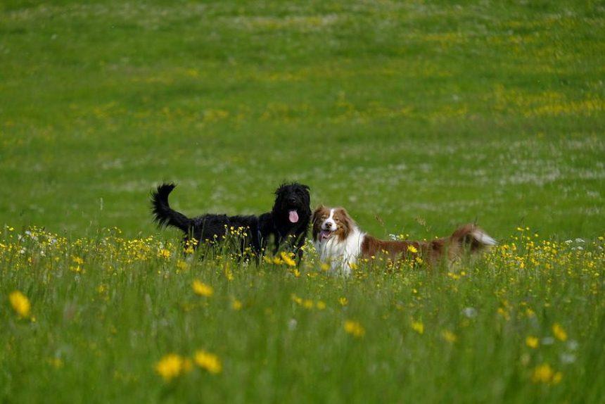 собаки собака пёс одуванчики трава поле