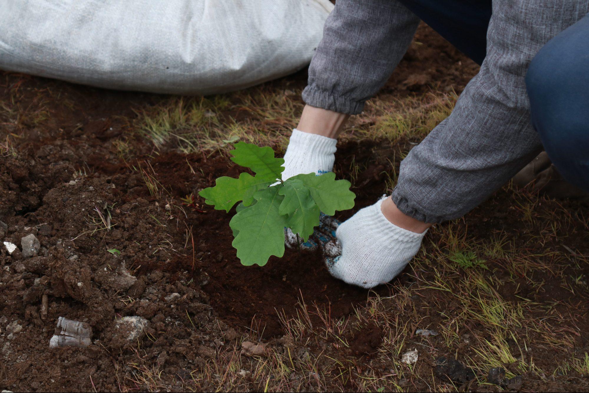 дуб саженец сад озеленение садовод садоводство дерево посадка