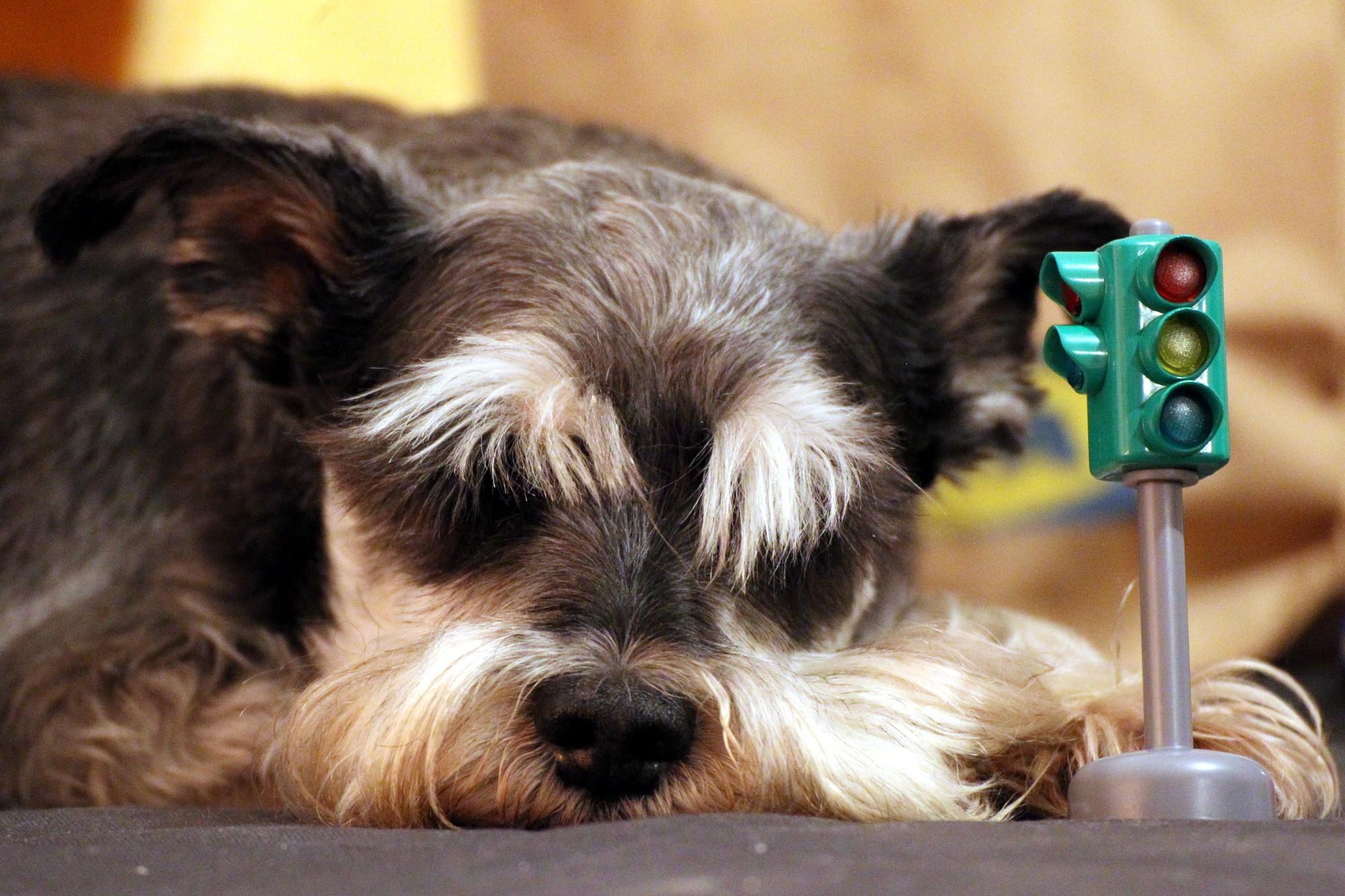 собака и светофор