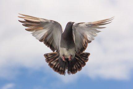 голубь птица мир