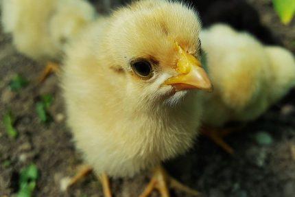 цыплёнок курица птица