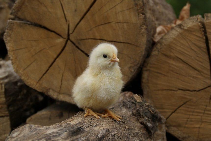 цыплёнок курица птенец птица