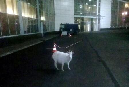 коза аэропорт Пулково