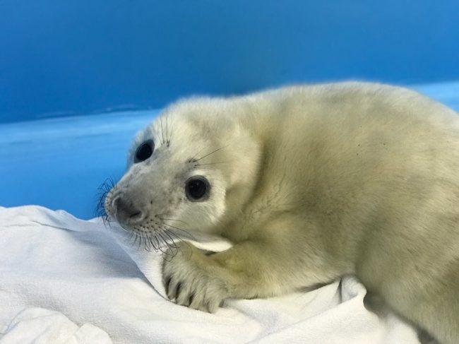 белёк тюлень детёныш