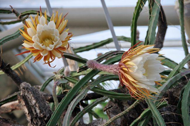 царица ночи ботанический сад