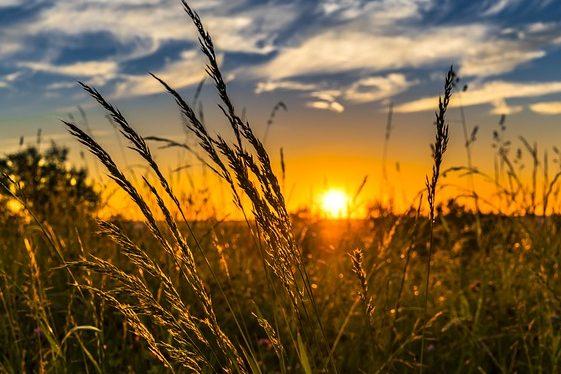 лето солнце жара поле погода колосья