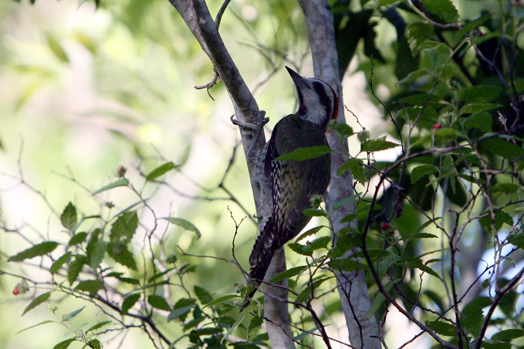птица дятел