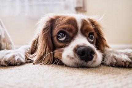собака, щенок, взгляд