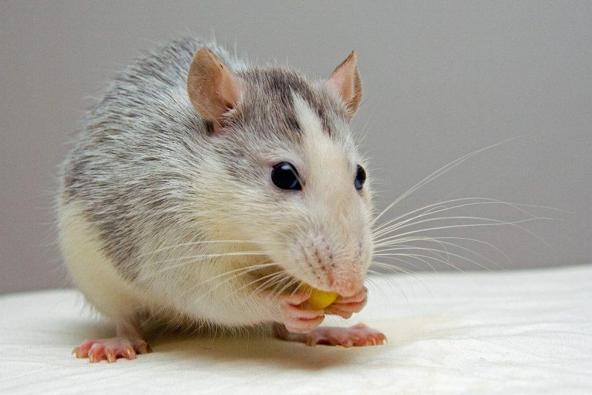 лабораторная мышь, крыса, лабораторная крыса