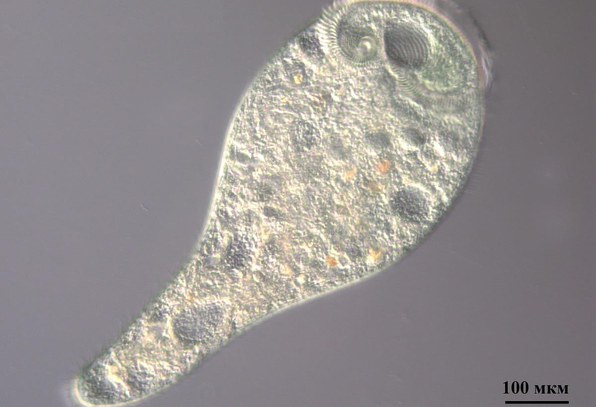 инфузория простейшее микроорганизм