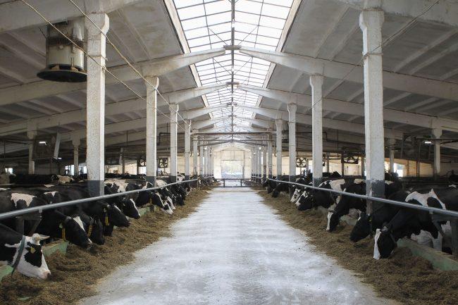 """завод """"Первомайский"""", трактор, сельское хозяйство, коровы, крупный рогатый скот"""