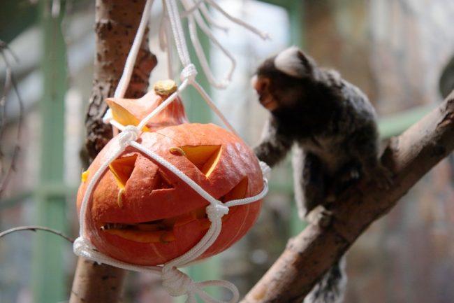 Хеллоуин, тыква, обезьяна, кормление
