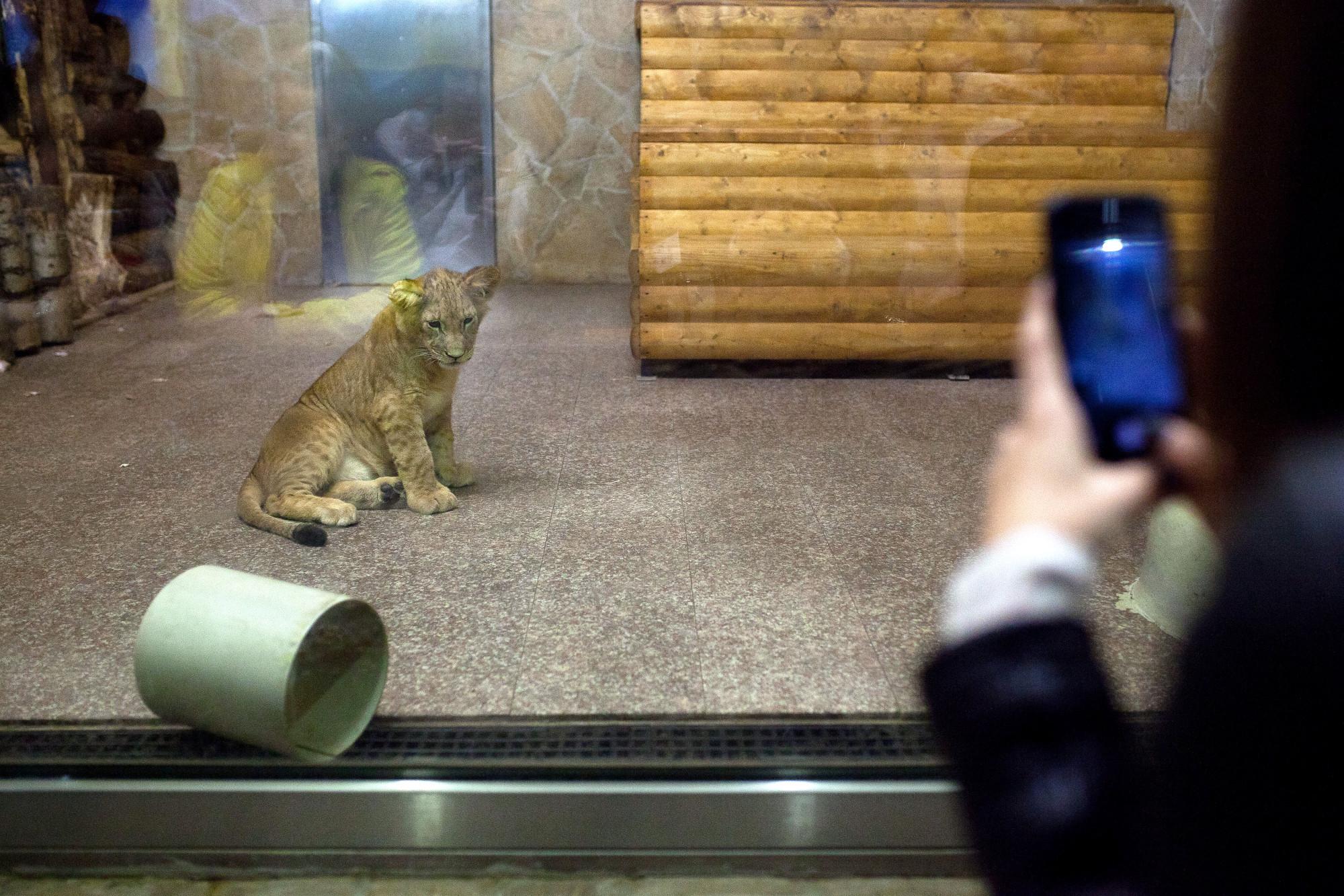 зоопарк дикие животные лев львёнок