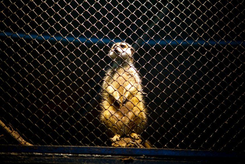 Почему диким животным не место в квартирах? Рассказывает зоопсихолог