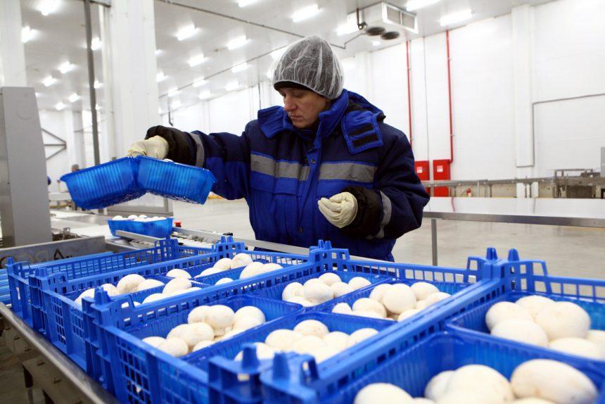 агрофирма Выборжец сельское хозяйство выращивание грибов шампиньоны