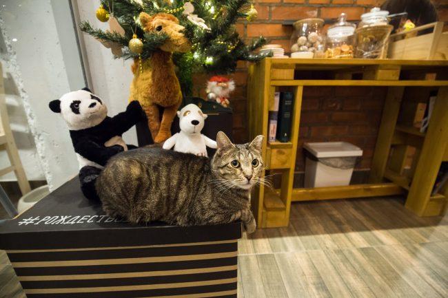 Котокафе Город кошек Кудрово кот Таймыр