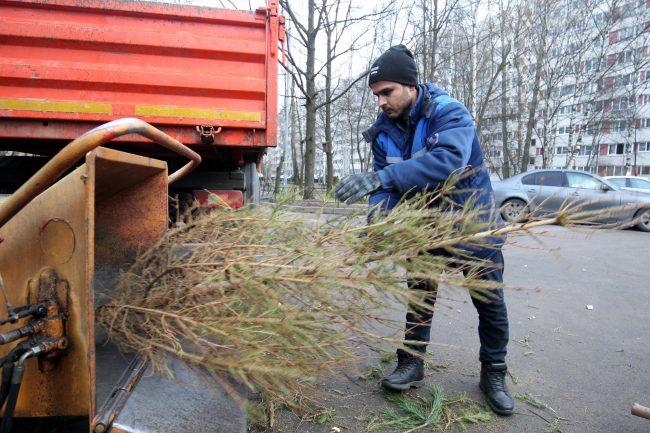 переработка новогодних елей ёлки щепа