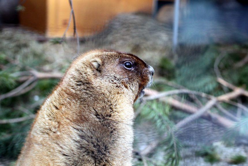 сурок весна грызун Ленинградский зоопарк