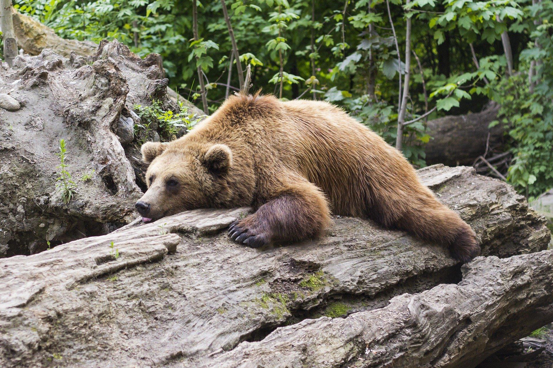 медведь, сон, животные