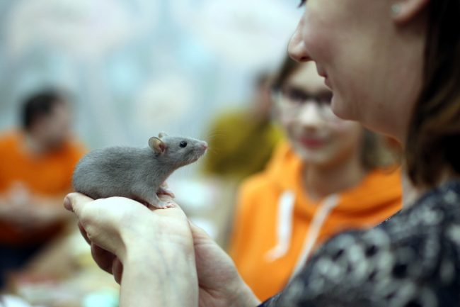 грызуны, декоративные крысы, крысоводство