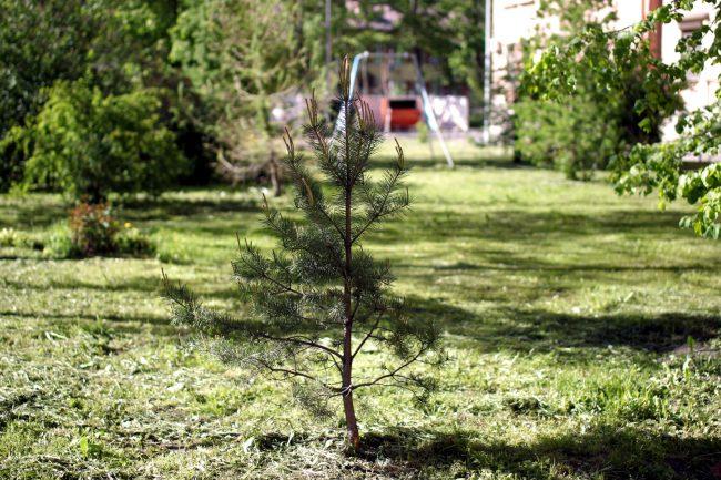 придомовой сад, улица Маринеско 6, хвойные деревья