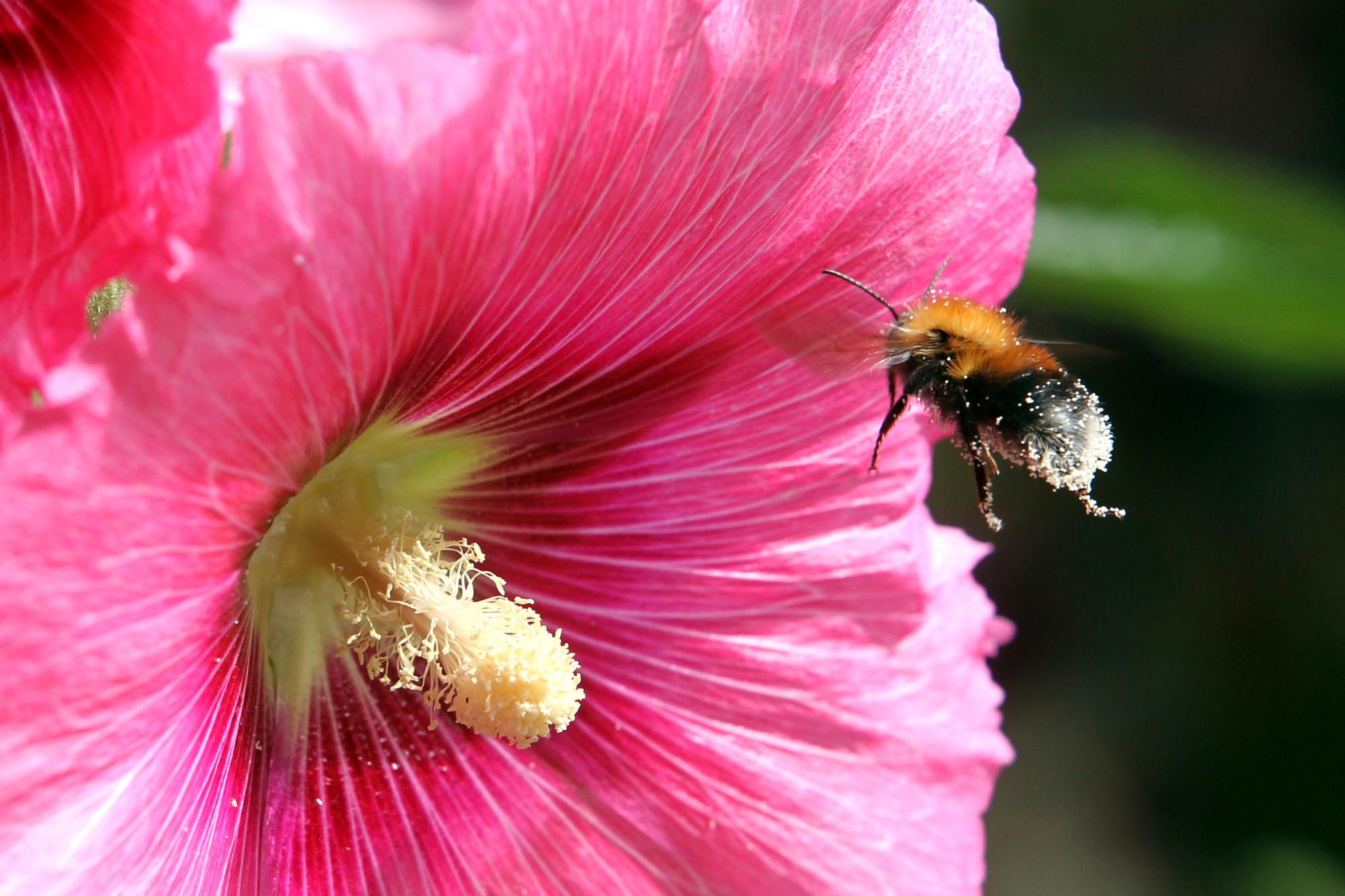 шмель, насекомое, природа, цветок, мальва