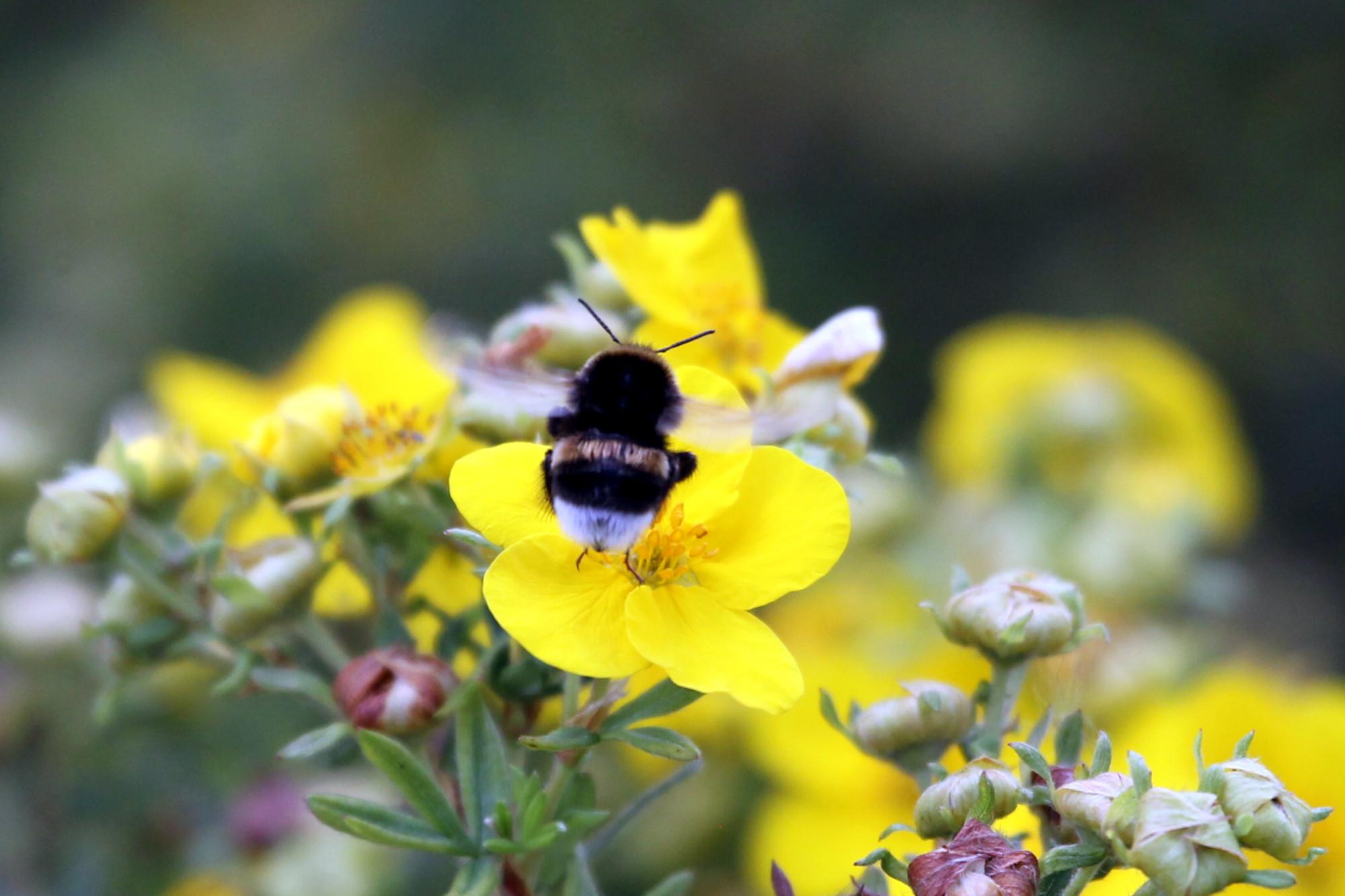 шмель, насекомое, природа, цветок