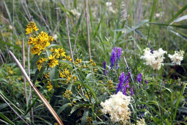 Юнтоловский заказник, ООПТ, особо охраняемая природная территория, цветы