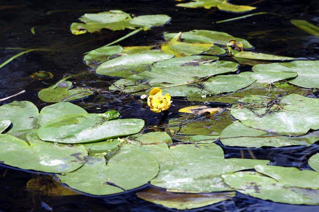 Гладышевский заказник, Чёрная речка, кувшинки, природа, цветы, водяные растения