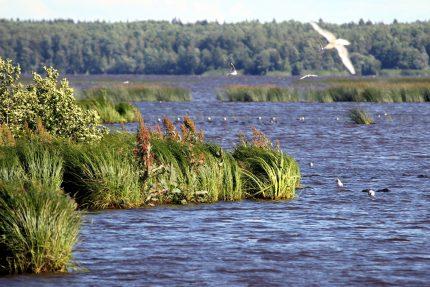 ООПТ, Заказник Сестрорецкое болото, озеро, Сестрорецкий разлив, чайки, птицы