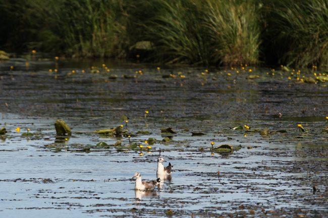 ООПТ, Заказник Сестрорецкое болото, озеро, чайки, птицы
