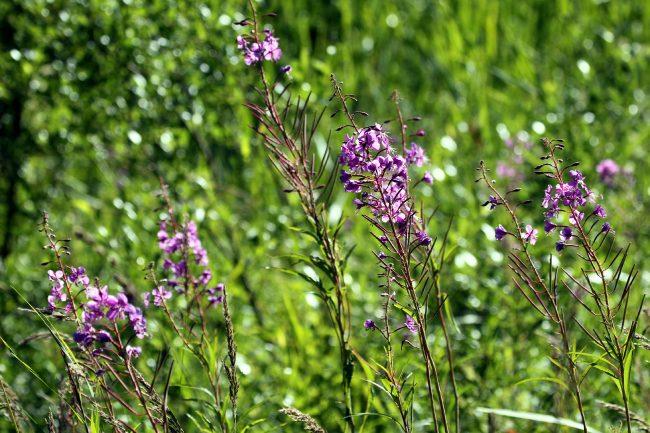 цветы, растения, природа, ООПТ, заказник Северное побережье Невской губы