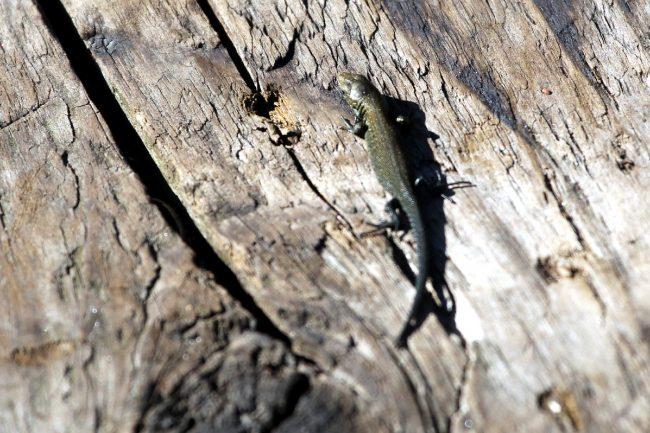 ящерица, пресмыкающиеся, рептилии, животные, природа