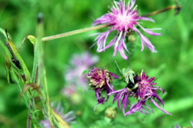 природа, животные, насекомые, шмель