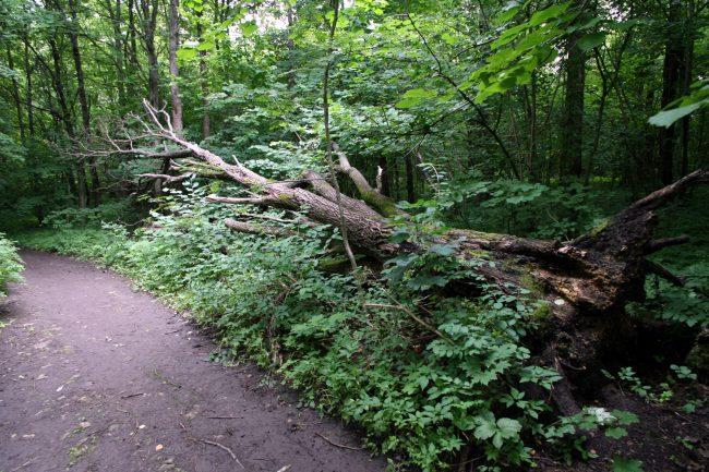 памятник природы, ООПТ, особо охраняемая природная территория, Дудергофские высоты, упавшее дерево