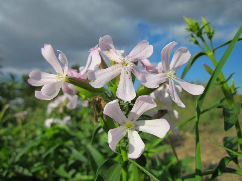 мыльнянка цветок растение