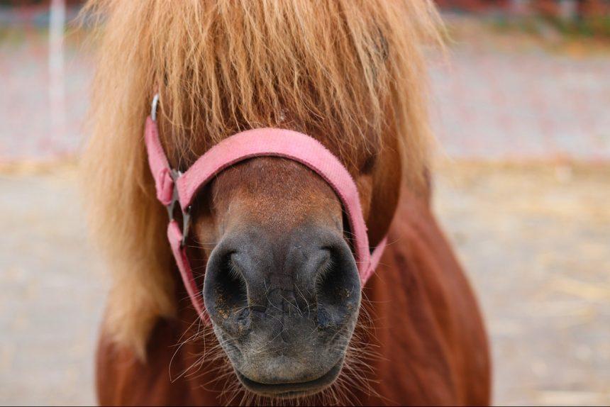 пони лошадь конь
