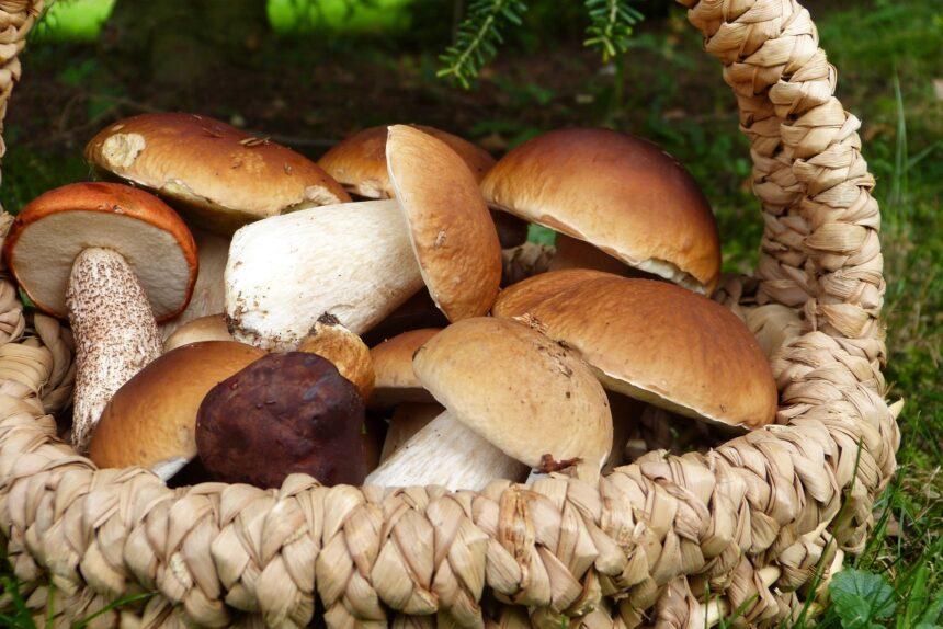 белые грибы корзина