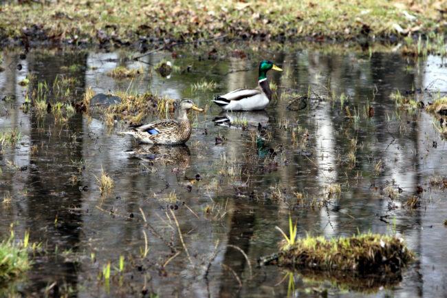птицы, утки, паводок, подтопление, весна