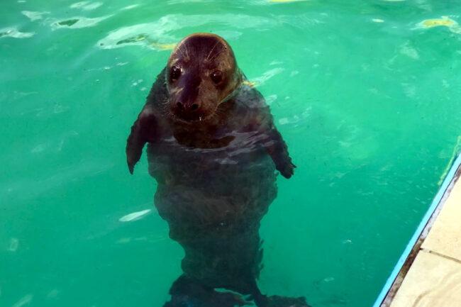 тюлени, нерпы, ластоногие, центр изучения и сохранения морских млекопитающих