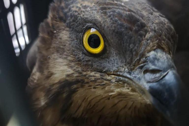 осоед, хищная птица