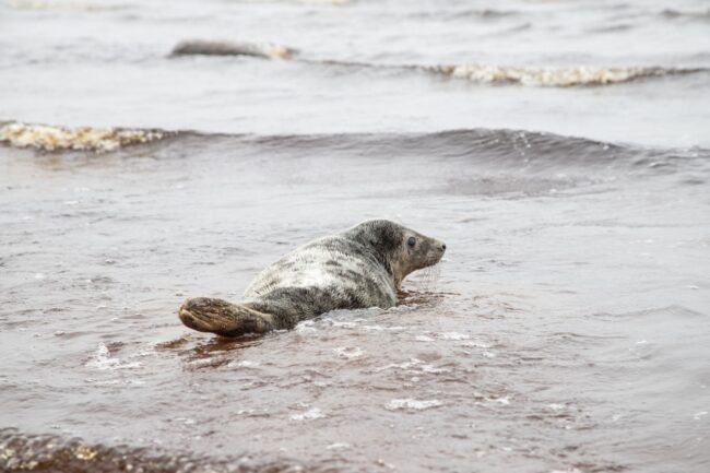 серый тюлень, тюлени, ластоногие
